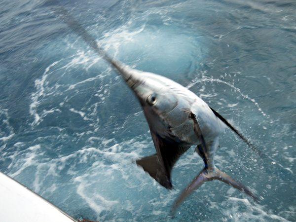 10-12-21-sailfish-tournament-1-web-jumping-sailfish.jpg