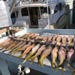 Islamorada yellowtail snappers