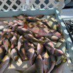 boxfull of yellowtails