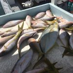 mangrove and yellowtail snappers